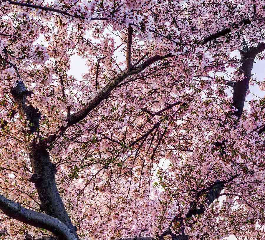 Cherry blossom trees blooming pink flowers.