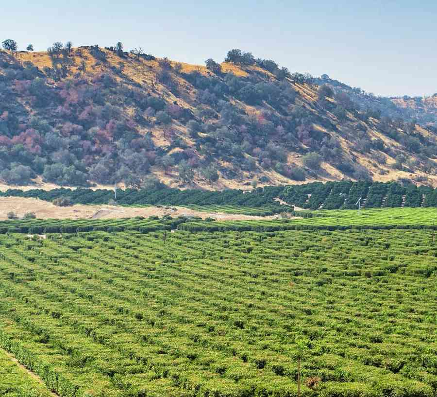 Bakersfield, California orange groves with countless fruit trees, dead tall grass in front, and bushy mountains in the back